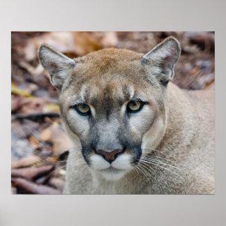 Cougar, mountain lion, Florida panther, Puma Poster