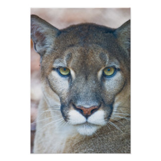 Cougar, mountain lion, Florida panther, Puma Poster