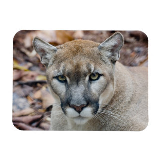 Cougar, mountain lion, Florida panther, Puma Rectangular Photo Magnet