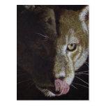 Cougar Night Postcard