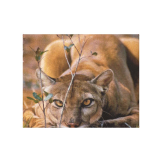 Cougar on a hunt canvas print
