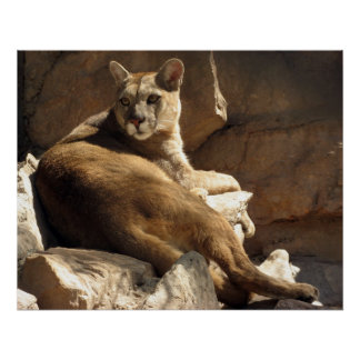 Cougar on the Rocks Poster