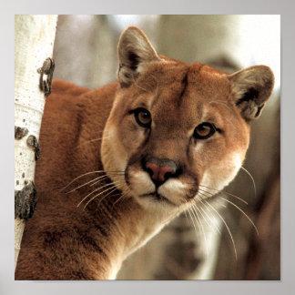 Cougar Photograph Poster