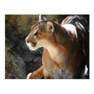 Cougar Postcards