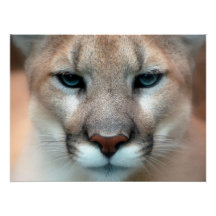 COUGAR POSTERS