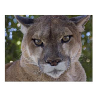 Cougar Pounce Postcard