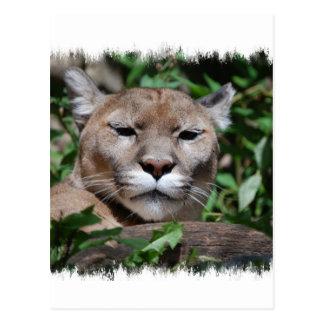 Cougar Predator Postcard
