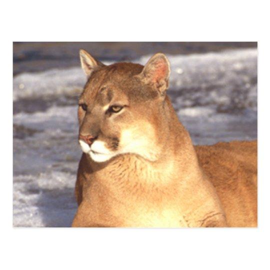 Cougar Rest Postcard