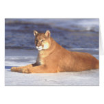 Cougar Resting Card Cards