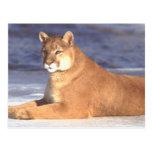 Cougar Resting Postcard