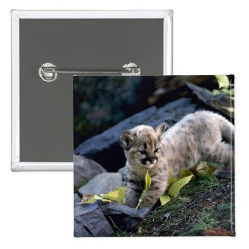Cougar-six week old cub 2 inch square button