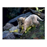 Cougar-six week old cub postcard