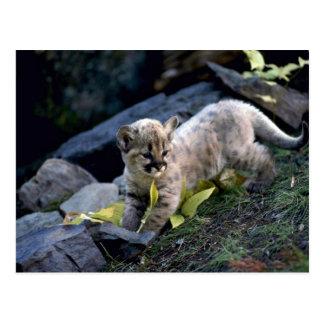 Cougar-six week old cub postcard