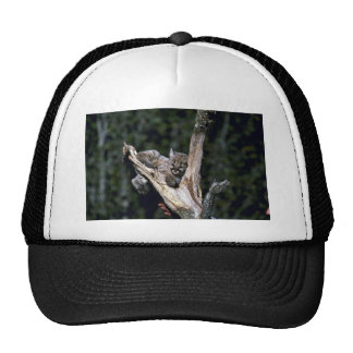 Cougar-six week old kitten up a tree trucker hat