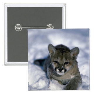 Cougar-small cub on snow pin