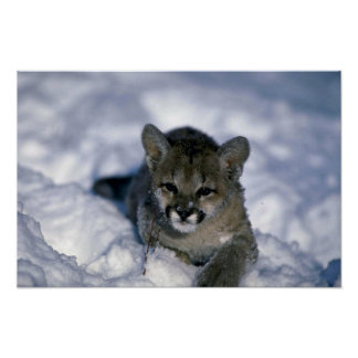 Cougar-small cub on snow print