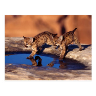 cougar twin cubs post card