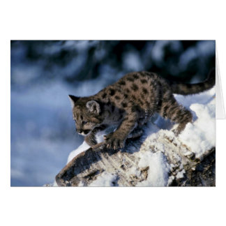 Cougar-young cub in a snowy tree cards