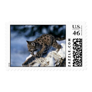 Cougar-young cub in a snowy tree postage stamp