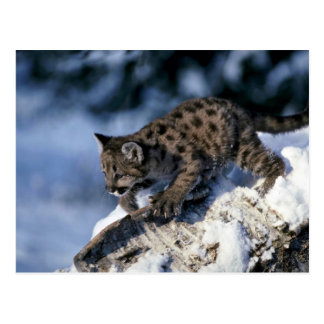Cougar-young cub in a snowy tree post card