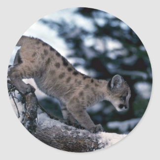 Cougar-young cub in snowy tree classic round sticker