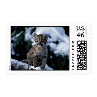 Cougar-young cub in snowy tree postage