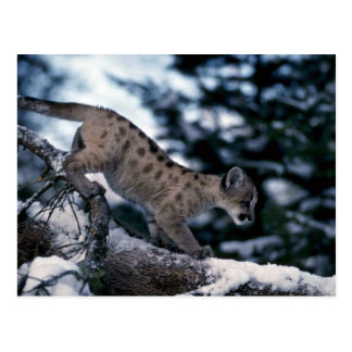 Cougar-young cub in snowy tree postcards