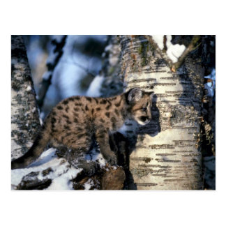 Cougar-young cub in snowy tree post cards