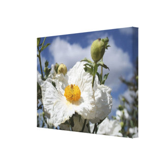 Coulter's Matilija Poppies Canvas Print