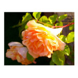 Country Rose Postcard
