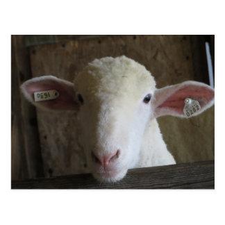 County Fair Sheep Postcard