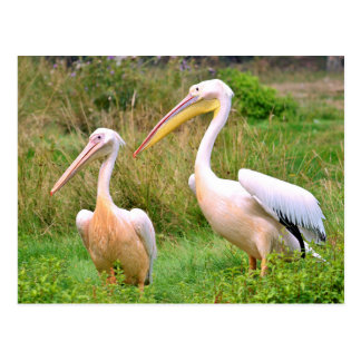 Couple of White pelicans on grass Postcard