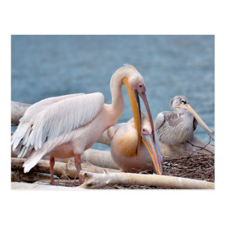 Couple of White pelicans on nest Postcard