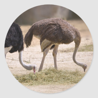 Couple Ostriches eating Classic Round Sticker