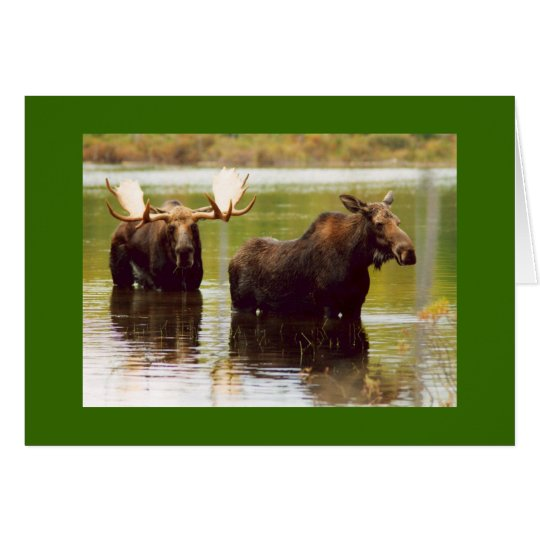 Courting Moose Card