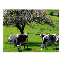 Cow among blooming apple trees in Normandy Postcard