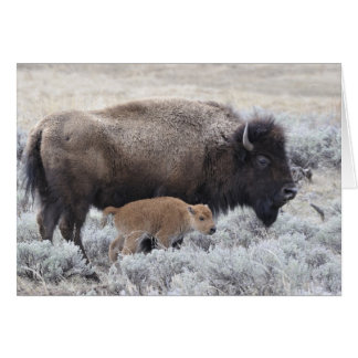Cow and Calf Bison, Yellowstone 2 Card