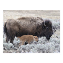 Cow and Calf Bison, Yellowstone 2 Postcard