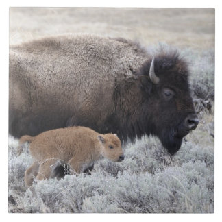 Cow and Calf Bison, Yellowstone 2 Tile