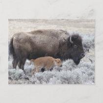 Cow and Calf Bison, Yellowstone Postcard