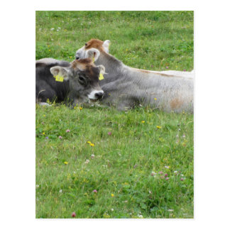 Cow and calf on a summer meadow postcard