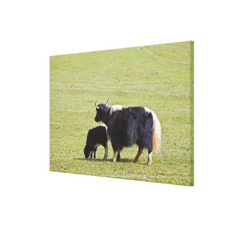 Cow and calf Yak, Lijiang Gallery Wrap Canvas