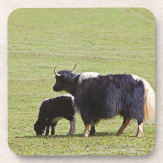 Cow and calf Yak, Lijiang Coaster