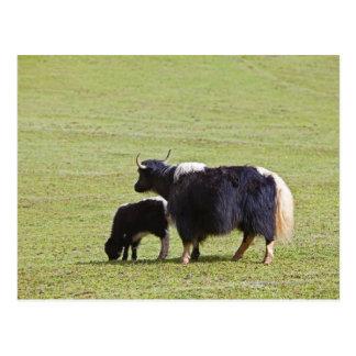Cow and calf Yak, Lijiang Postcard