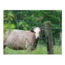 Cow and Fence Postcard