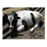 cow,baby postcards