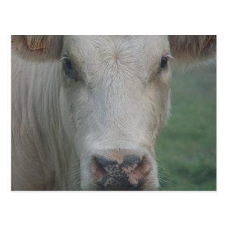 Cow Big Head Postcard