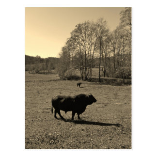 Cow, Black bull. Sepia Tone  Photo Postcard
