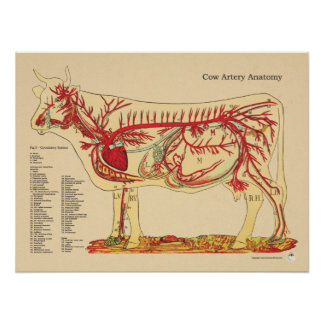 Cow Bovine Veterinary Artery Anatomy Chart Poster