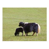 Cow & Calf Yak | Lijiang Postcard